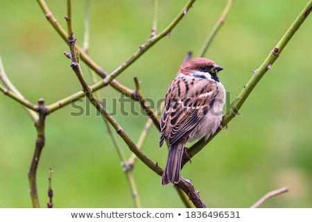 Marrom pardal verde ramo ilustração natureza Foto stock © bluering