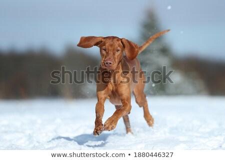 hond · winter · shot · veld · horizontaal - stockfoto © brianguest