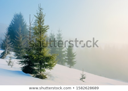 misty forest of evergreen coniferous trees stock photo © stevanovicigor