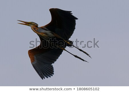 Purple Heron in Flight Stock photo © azamshah72