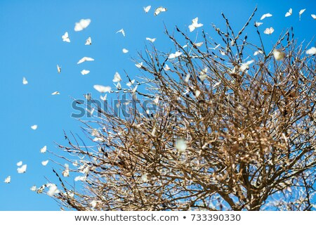 Caper white butterfly migration swarming on an autumn tree in western Queensland Stock photo © stephkindermann