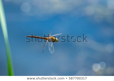 Macro picture of dragonfly flying on the water Stock photo © AlisLuch