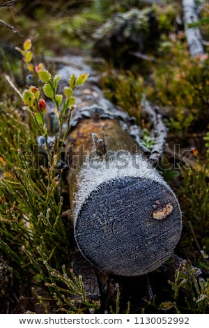 Blueberry twigs covered by light snow Stock photo © Mps197
