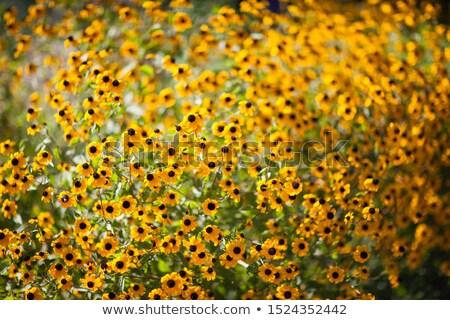 Rudbeckia Marmalade flower with yellow petals Stock photo © sarahdoow