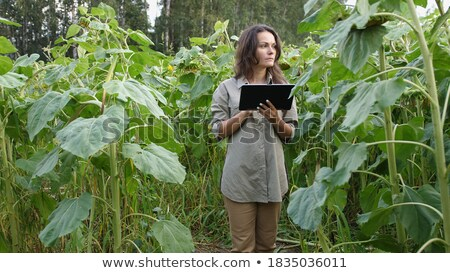 Agriculture, farmer examining sunflower field using tablet Stock photo © simazoran