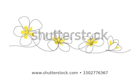 Vector Frangipani Flower Stock photo © dashadima