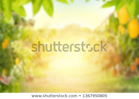 新鮮な マンゴー ジュース 光 健康 ドリンク ストックフォト © furmanphoto