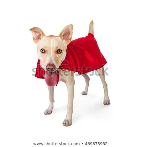 Szuper citromsárga labrador retriever visel kabala sportok Stock fotó © patrimonio