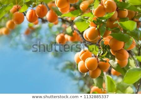 croissant · branche · feuilles · vertes · alimentaire · jardin - photo stock © masay256