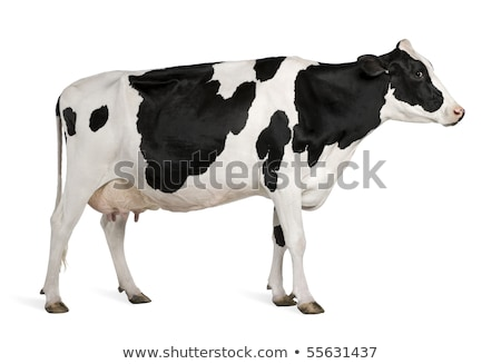 Vache permanent vue profile blanche isolé Photo stock © Zhukow