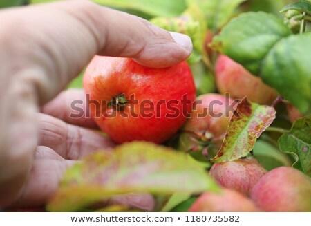 Aratás alma kéz étel természet nyár Stock fotó © bdspn