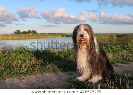 bebaarde · hond · vergadering · geïsoleerd · witte - stockfoto © eriklam