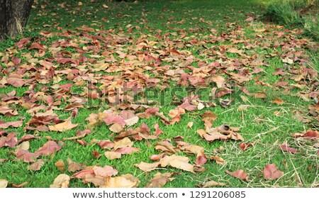 Secar hojas hierba verde hierba hoja jardín Foto stock © happydancing