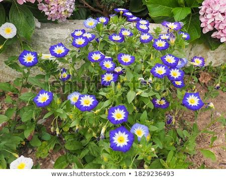 Roxo flor folha verde azul carimbo Foto stock © Arrxxx