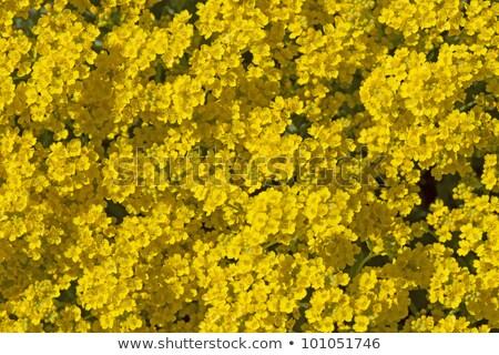 Yellow Aurinia Saxatile Flowers Outside Stok fotoğraf © haraldmuc
