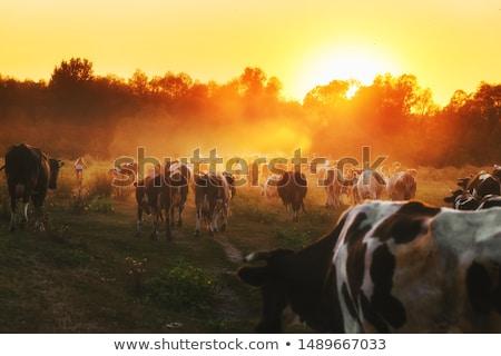 Vacas rebanho verde campo primavera Foto stock © Leonardi