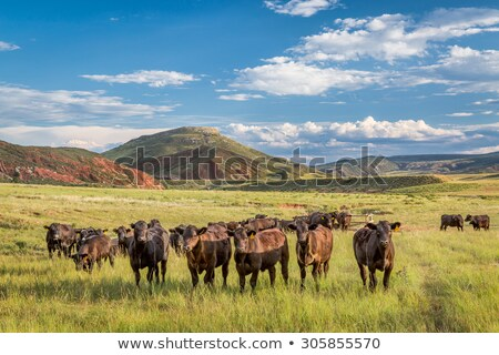 Stock photo: Cattle Grazing In Colorado