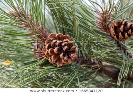 Pine Cones 2 Stock photo © chrisbradshaw