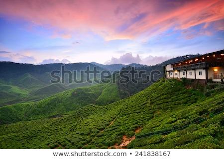 misty morning in tea farm at cameron highland malaysia stock photo © yuliang11