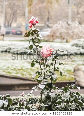 氷 · 茂み · 冬 - ストックフォト © elinamanninen