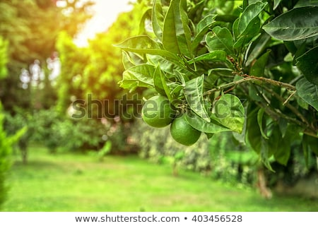 Green lemon  on tree Stock photo © Bunwit