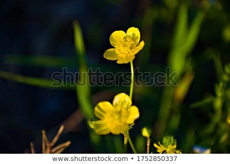 желтый · цветок · примула · макроса · весны · дома · дерево - Сток-фото © lianem