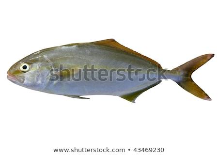 Seriola dumerili fish greater amberjack fish Stock photo © lunamarina