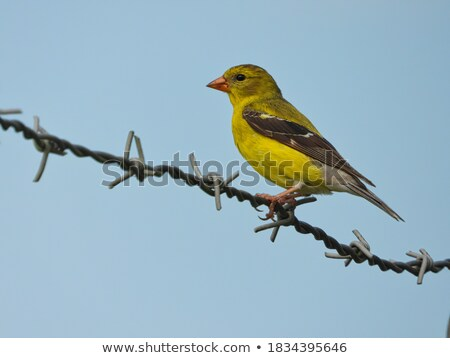 Yellow bird on barbed wire Stock photo © carbouval