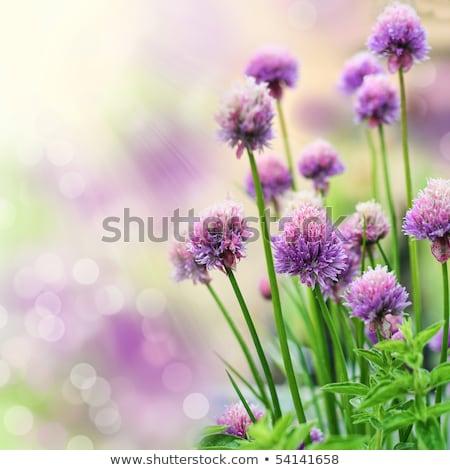 Fioritura viola fiori fresche erbe fiore Foto d'archivio © Arrxxx