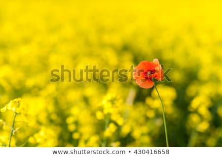 blooming poppy flowers with yellow rape stock photo © meinzahn