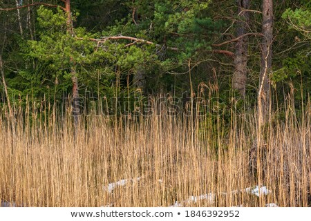 Spots in the reeds Stock photo © Ustofre9