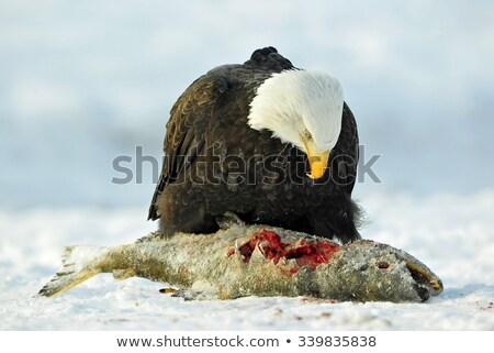 Bald eagle eating salmon Stock photo © devon