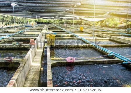 Muitos peixe-dourado com aquário limpar branco Foto stock © c-foto