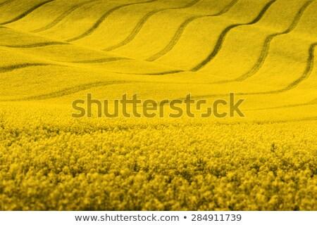 Mező nemi erőszak növények virágzó citromsárga tavasz Stock fotó © Arrxxx
