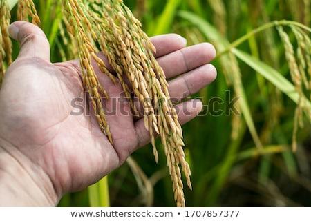 hand · rijst · graan · voorraad · foto - stockfoto © frameangel