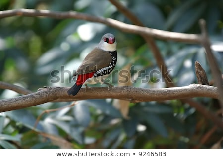 Diamante Firetail Finch Com Ramo Foto stock © clearviewstock