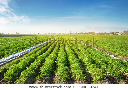 Row of Green Potato Plants in Cultivated Vegetable Plantation Fi Stock photo © stevanovicigor