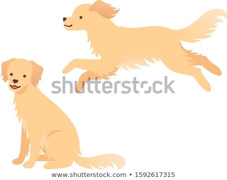 golden · retriever · hond · lopen · lopen · grappig · jonge - stockfoto © jfjacobsz