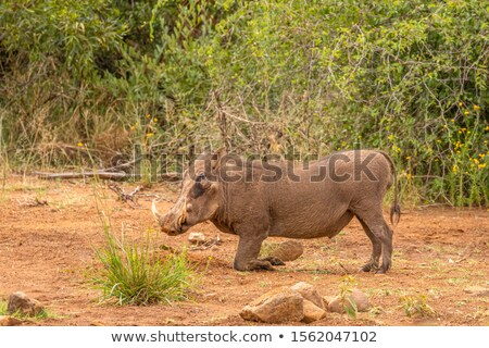 Common warthog (Phacochoerus africanus) kneeling to eat while be stock photo © davemontreuil