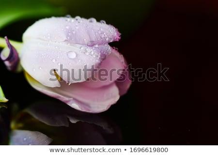 Tulipes eau réflexion bouquet rose printemps Photo stock © zapatrzony
