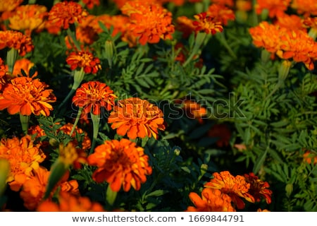 Mexican marigold (Tagetes erecta) Stock photo © rbiedermann