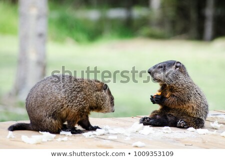 Baby ground hog in the grass Stock photo © njnightsky