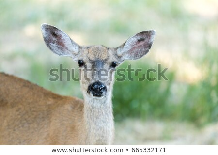 black tailed deer odocoileus hemionus in the grassland adult female stock photo © yhelfman