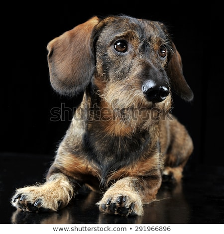 Wired hair dachshund lying in a black photo studio Stock photo © vauvau