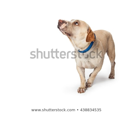 afraid mixed breed dog in a white background Stock photo © vauvau
