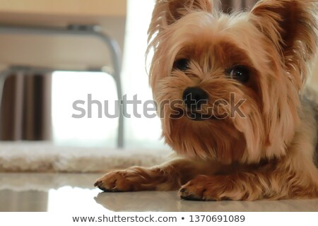 Stockfoto: Yorkshire Terrier Female In A Dog Bed