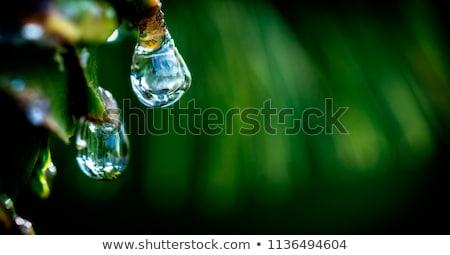 Frischen Blätter dew Tropfen floral Design Stock foto © UPimages
