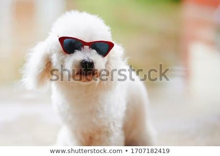 Sevimli küçük beyaz kaniş yalıtılmış kesmek Stok fotoğraf © boggy