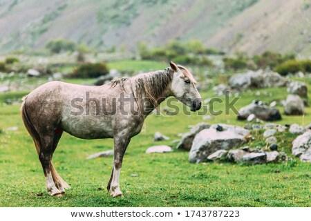 szürke · ló · testtartás · hegyek · Grúzia · ősz - stock fotó © Kotenko