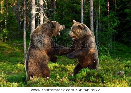 Grizzly medve természet jelenet illusztráció erdő háttér Stock fotó © bluering